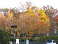 紅葉ドライブ:しゃらの木